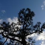 内露地黒松大木